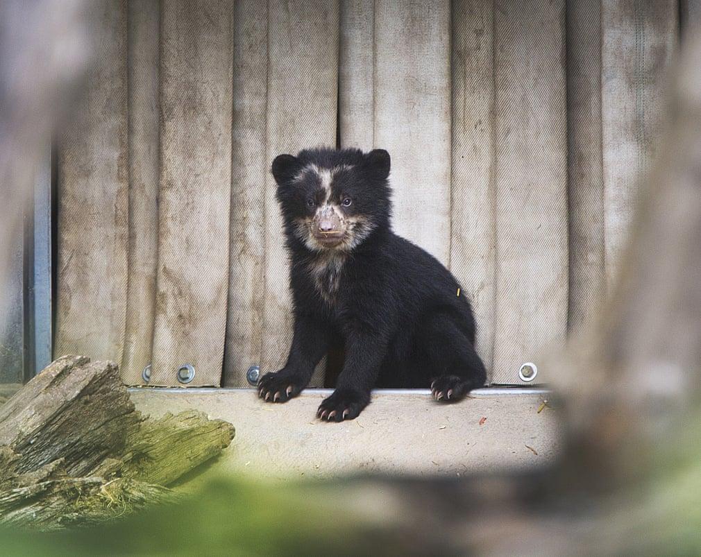 اولین توله خرس وارد نخستین محفظه در فضای باز  در باغ وحش فرانکفورت، آلمان شده است.