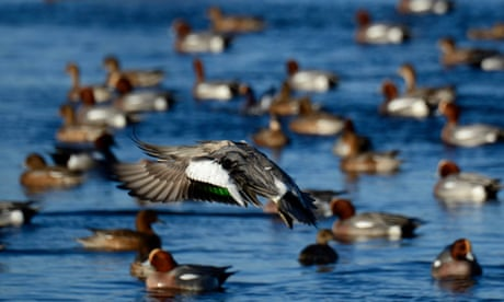 Country diary: wigeon come at me like an arrow out of the blue dazzle