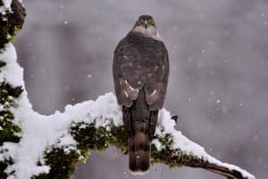 A sparrowhawk perches on a snowy tree branch near Pomáz, northern Hungary