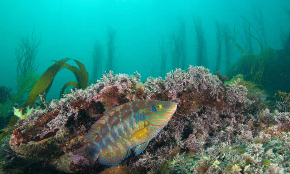 A male corkwing wrasse building a nest, off the coast neat Plymouth.
