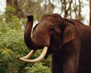 Male 'tusker' elephant curling trunk