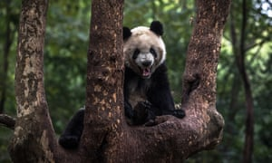 A giant panda at the Chengdu Research Base in China's Sichuan province.