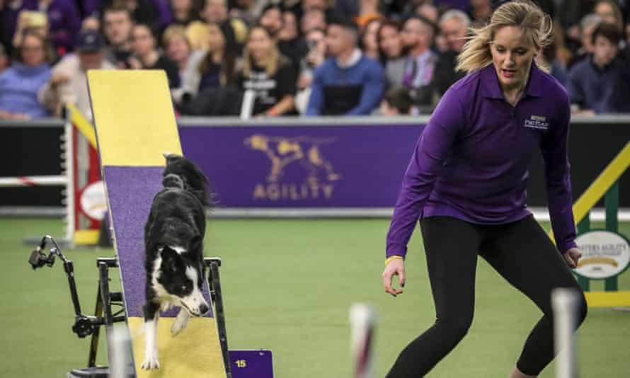 Pink the border collie competes next to handler Jennifer Crank at the Westminster Kennel Club's agility title (AP Photo/Bebeto Matthews)