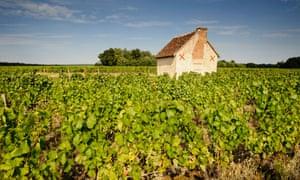 Sauvignon Blanc grapes in Loir-et-Cher.