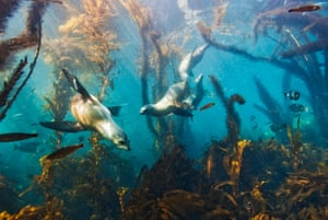 Baby California sea lions (Zalophus californianus) swimming in a kelp forest off the Channel Islands, California