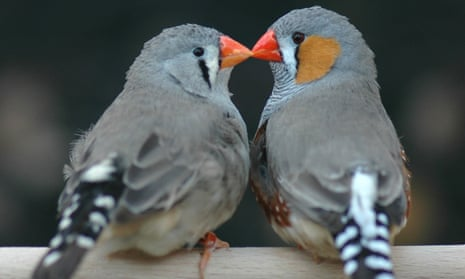 True love: a pair of zebra finches teach humans about the value of love.