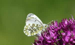 Female orange-tip
