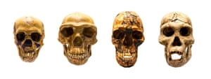 From L to R : Fossil skull of Homo neanderthalis, Homo antecessor, Homo sapiens and Homo erectus