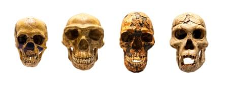 From L to R : Fossil skull of Homo neanderthalis, Homo antecessor, Homo sapiens and Homo erectus
