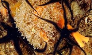 A black brittlestar, bryozoans and orange sponge off the west Scottish coast.