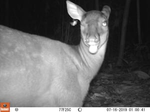 The red brocket deer is the third animal to be captured on camera at Juruena national park, showing the variety of species in the area and the abundance of prey for the jaguar.