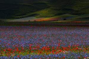 Castelluccio, Italy: Fields of flowers  during the annual blossom