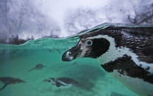 Humboldt penguin during the annual stock take of animals at London Zoo.