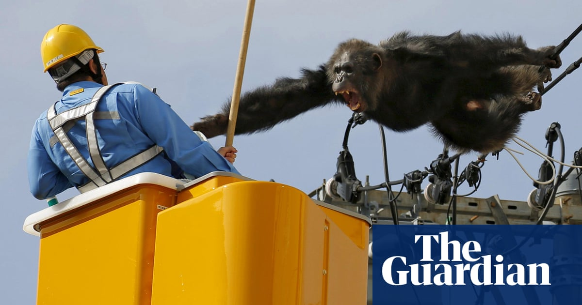 Chimpanzee sparks alert after electrifying escape from Japan zoo