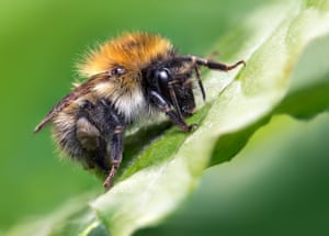 The Luminar young bug photographer of the year 2020 winner: a carder bee, shot by Jamie Spensley