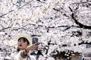 A woman takes a selfie with cherry blossoms in full bloom along the Meguro river in Tokyo