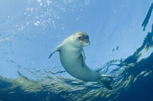 A critically endangered Mediterranean monk seal in Gökova Bay, Turkey