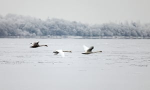 Swans flying over a frozen Lough Derg, Tipperary.