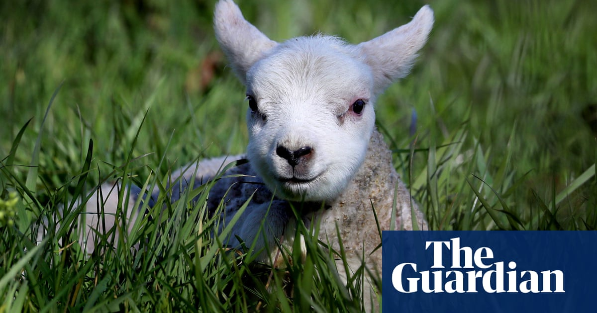 Weatherwatch: parasite forecast allows lambs to safely graze