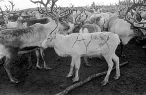 """Reindeer Herders in Swedish Lapland, 1958This marks the largest reindeer roundup of the year at 12,000 animals strong. """"In the fall of 1958, with the help of a map and compass, I hiked into a place marked Tjuorek, high above the Arctic Circle and beyond all roads. What I found was an encampment of pitched tents and the largest reindeer roundup of the year, maybe the world, at 12,000 animals strong. The markings on their sides are reindeer IDs."""""""