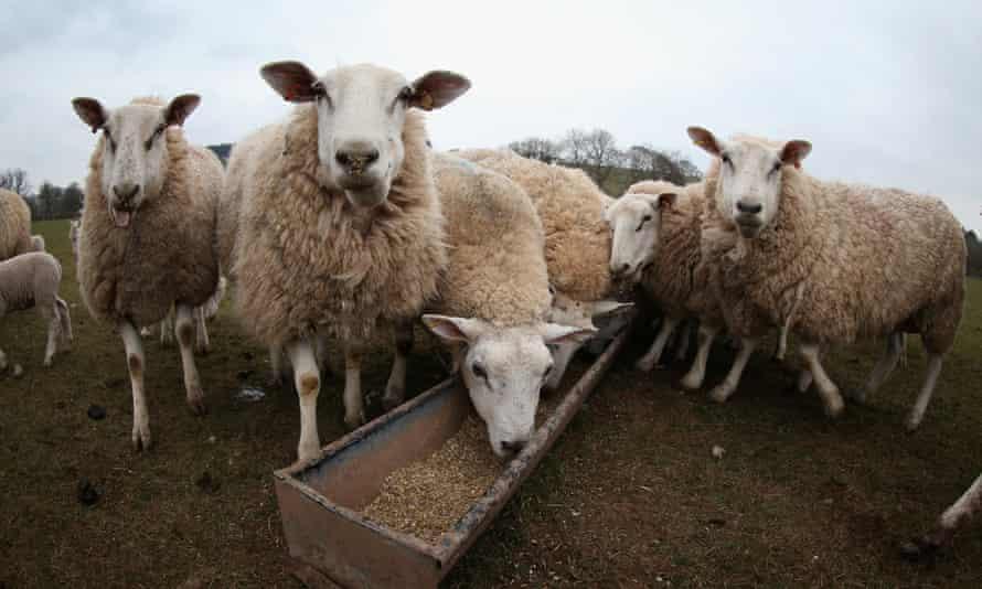 Sheep take feed in Wales