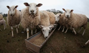 Sheep on a farm in Brecon, Wales