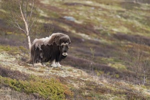 A moulting musk ox in Dovrefjell park, Norway