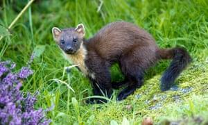 European pine marten in Scotland