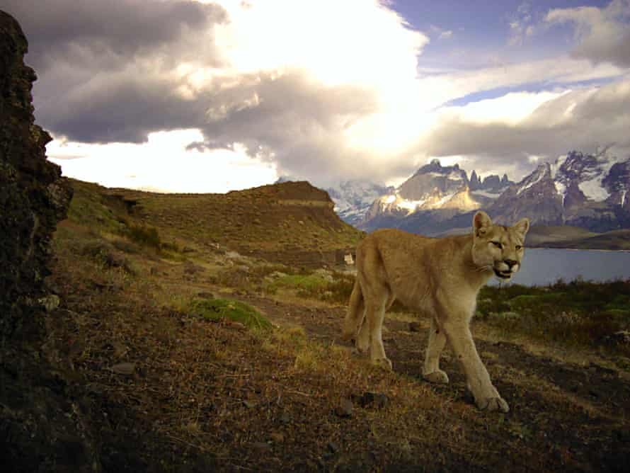 Pumas have been protected in Chile since the 1980s, but are still hunted on farmlands