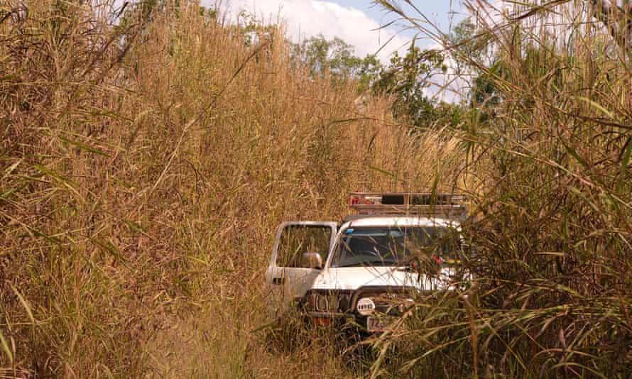 African gamba grass