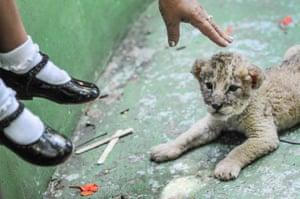 Lion cub, Cuba 2008