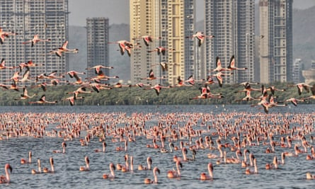 The birds' polluted habitat appears to hold clues the cause of the huge spike in the flamingo population.
