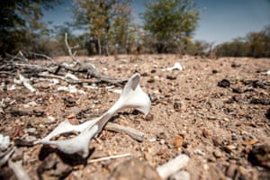 Cattle bones can be seen in the area of Combumune, Mabalane district. Thousands of livestock have perished due to due food and water shortages
