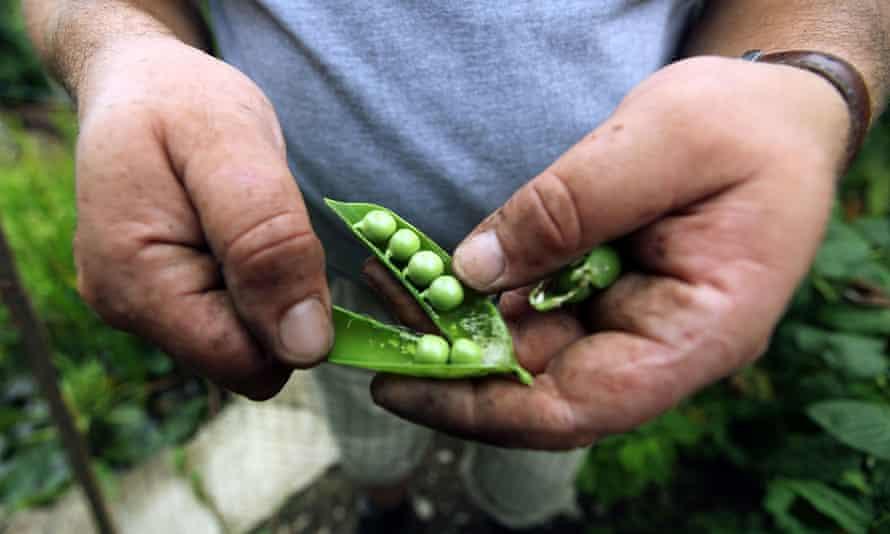pea crop vegetable garden