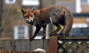 An urban fox in west London.