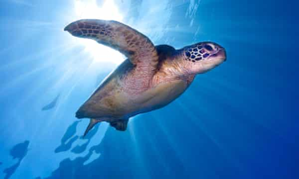 Green sea turtles are among species with temperature dependent sex-determination