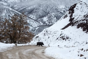 A wild boar on a cold winter day after snowfall in Ovacik district of Tunceli, Turkey