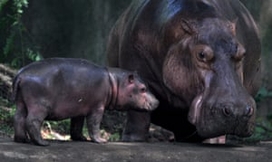 Guwahati, India A hippopotamus keeps an eye on her 19-day-old cub in Assam's state zoo