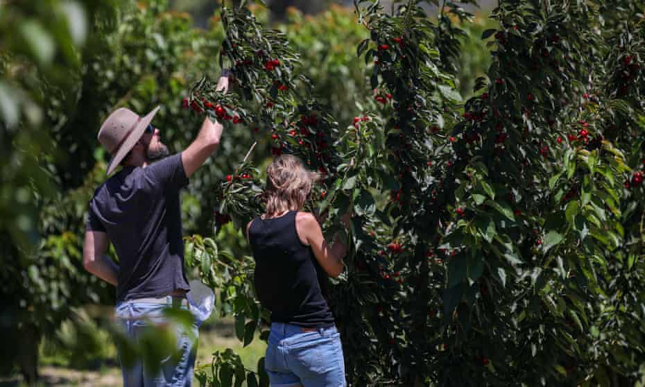 Cherry picking in Young, New South Wales, Australia.