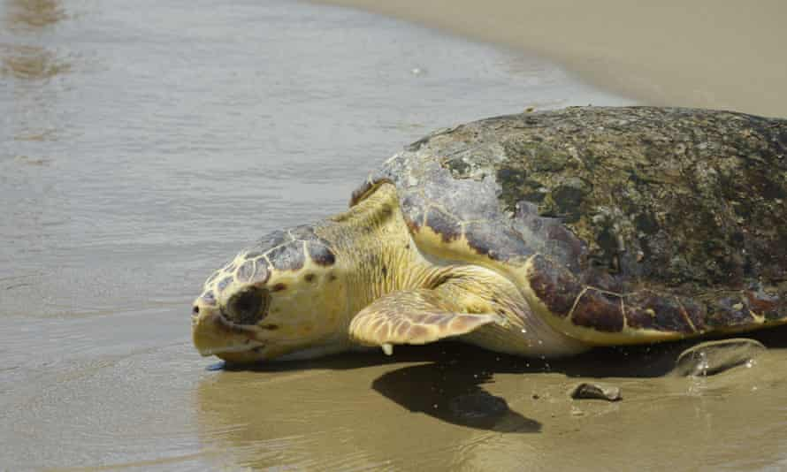 A loggerhead sea turtle. Rising seas and escalating temperatures threaten to wipe out some of the world's premier sea turtle nesting habitat.