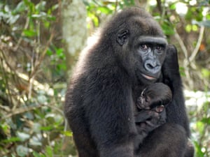 A baby gorilla is cradled by its mother Mayombe in the Bateke Plateau, south-east Gabon. The baby was born in the wild from two parents who grew up in captivity in Europe