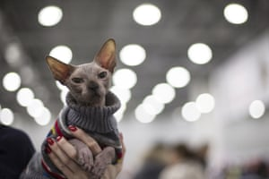 A cat is kept warm while waiting for the judges