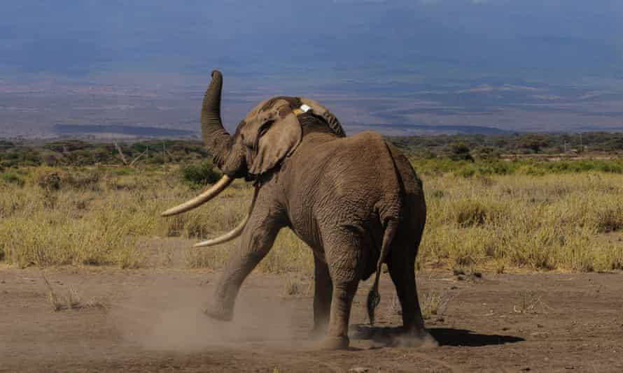 Elephant Tim tries to shake off his newly fitted tracking collar in Amboseli National Park, Kenya, on 10 September 2016.