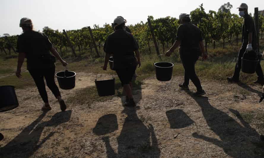 Workers on their way to harvest grapes at a vineyard near Rome.