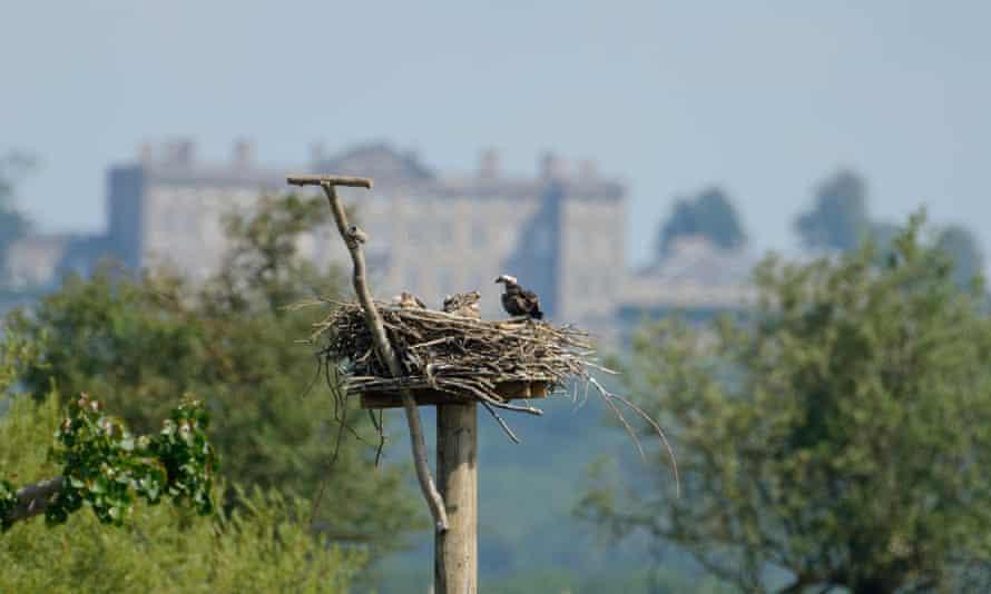 Ospreys nest on Rutland Water.