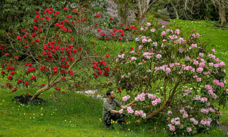 A gardener inspects blooming rhododendrons at Glendurgan Garden in Cornwall.