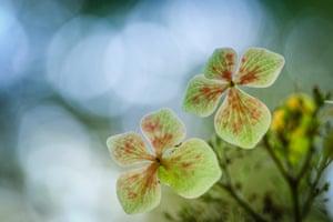 Winner, Young Garden Photographer of the YearHydrangea in Palo Alto, California, US