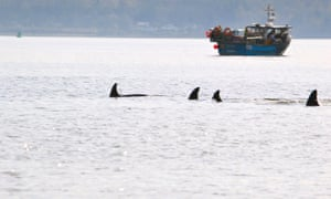 The pod of orcas in the River Clyde near Dunoon.