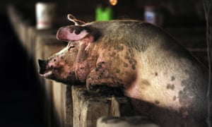 A pig looks over its pen on a pig farm on the outskirts of Beijing