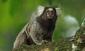 A common marmoset in the Atlantic rainforest, Brazil.